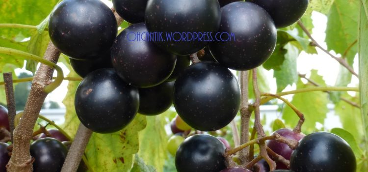 Hilangkan Parut Jerawat Dan Kekal Awet Muda: Minum Sirap Anggur Muscadine