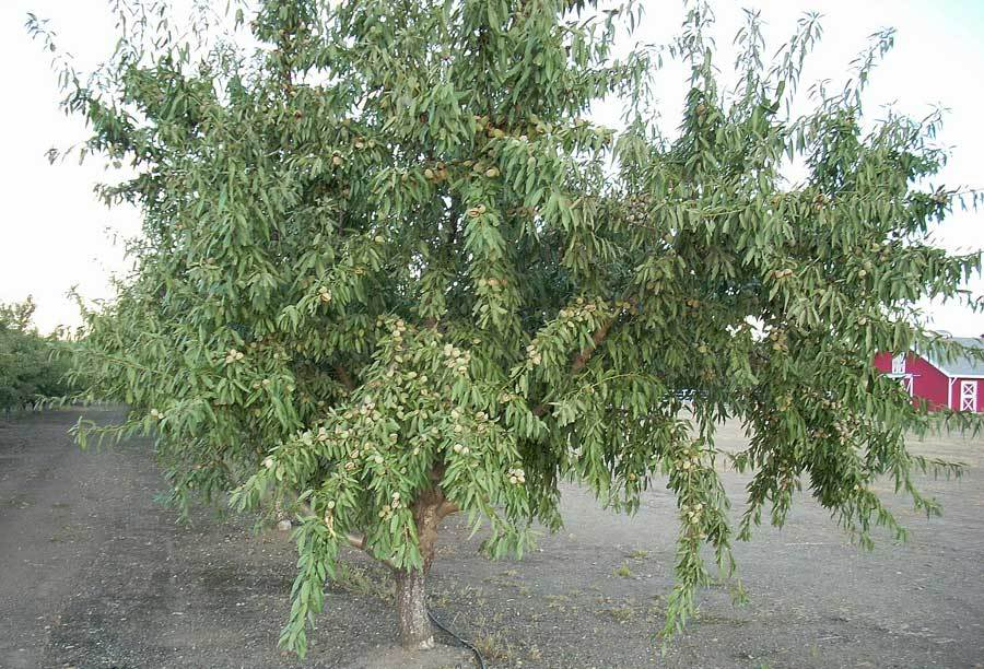 Almond Trees 3